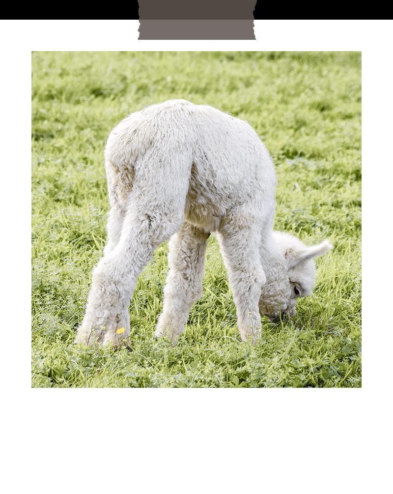 rudolfstein-alpakas-weiss-baby