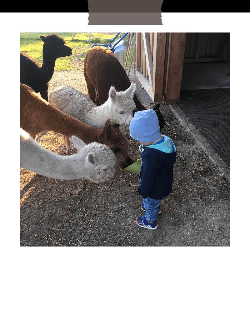 rudolfstein-alpakas-kindergeburtstag-fuettern
